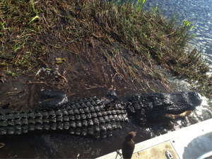 Hungry Gator